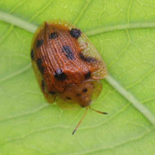 Thirteen Spotted Tortoise Beetle
