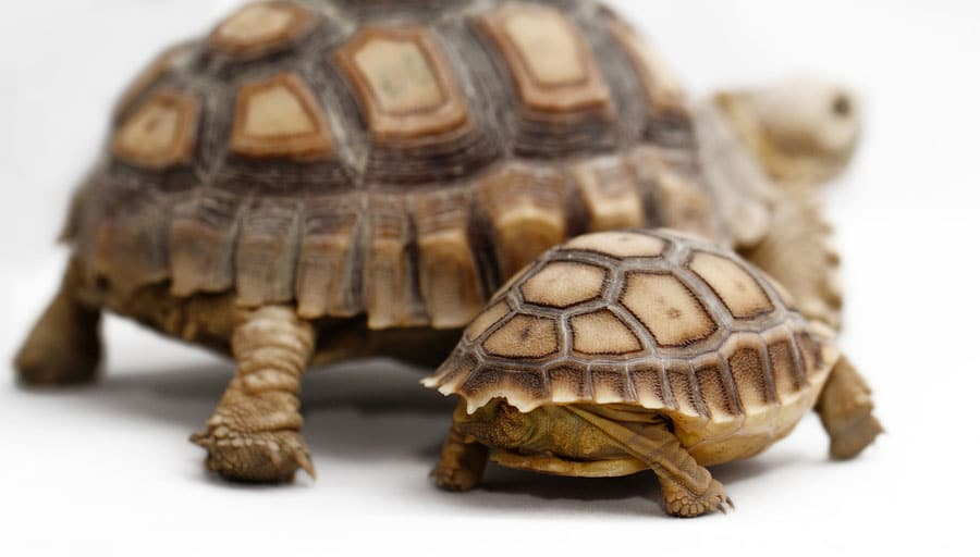 Two African Spurred Tortoises. Photo: Bigstock