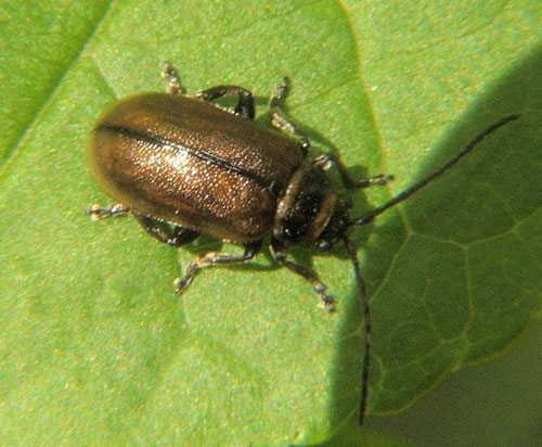 Willow Leaf Beetle Beetle