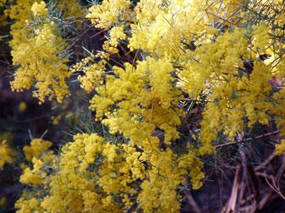 January Flowers: Acacia