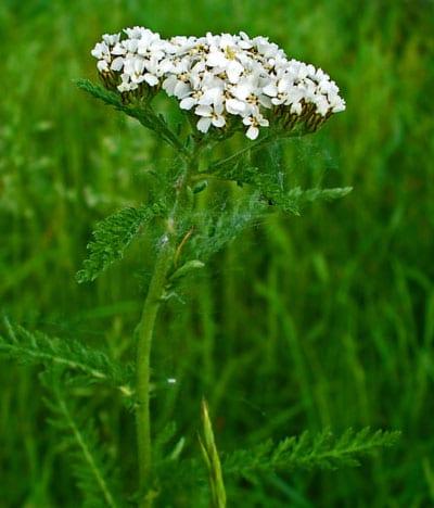 July Flowers: Yarrow