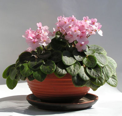 February Flowers: African Violets