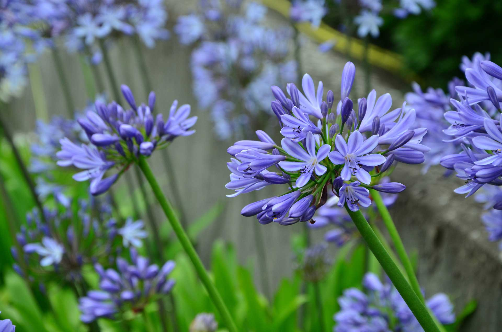 learn about nature  agapanthus greek agape, meaning love, and, Natural flower