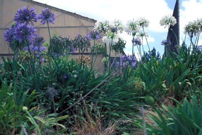 August Flowers: Agapanthus