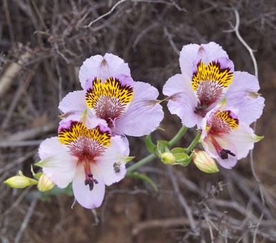 June Flowers: Alstroemeria