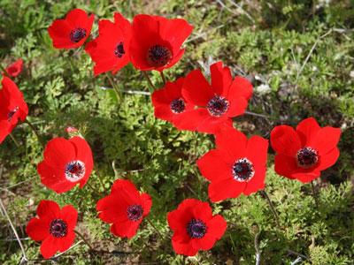 April Flowers: Anemone Flowers