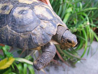 Angulatedd Tortoise