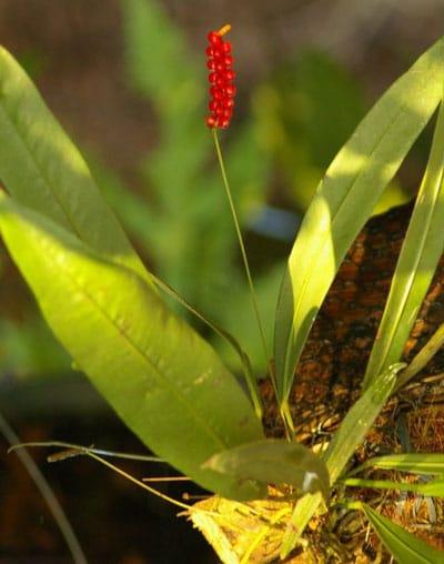 December Flowers: Anthurium