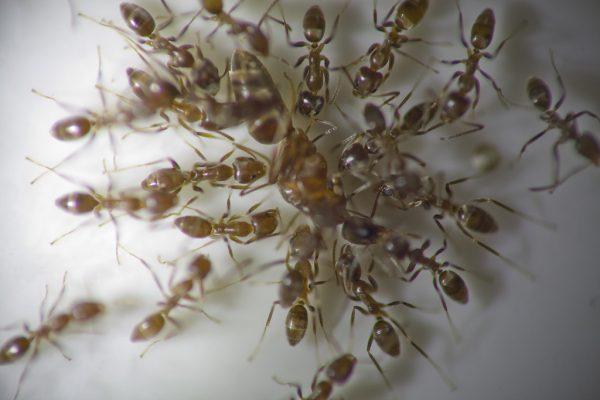 argentine-ants
