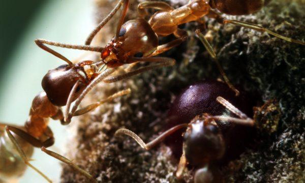 Argentine Ants's Thumbnail
