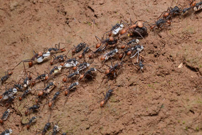 Detailed Article about Army Ants