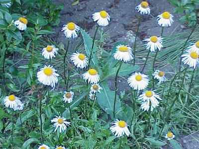 June Flowers: Asters