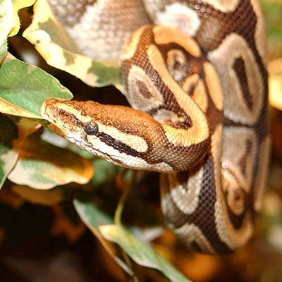 Types of Snakes: Pythonidae - Learn About Nature