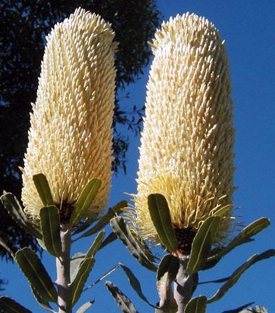 October Flowers: Banksia