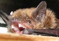 ALL ABOUT BATS Website: Big Brown Bat Article