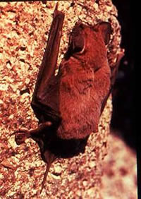 ALL ABOUT BATS Website: Eastern Red Bat Article