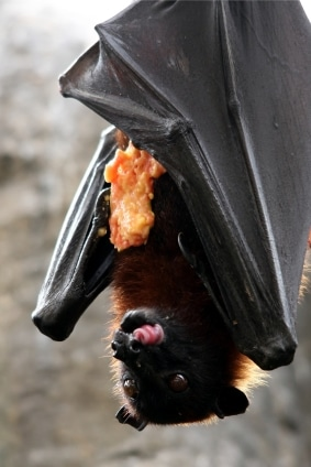 ALL ABOUT BATS Website: Fruit Bat Article