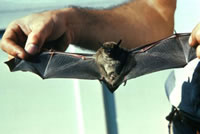 ALL ABOUT BATS Website: Little Brown Bat Article
