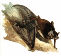ALL ABOUT BATS: Northern Long-eared Bat Article
