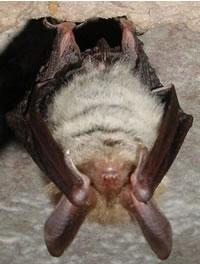 ALL ABOUT BATS: Long-Legged Bat Article
