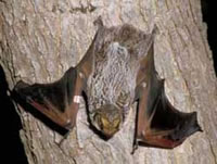 ALL ABOUT BATS Website: Seminole Bat Article