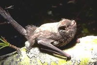 ALL ABOUT BATS Website: Silver Haired Bat Article
