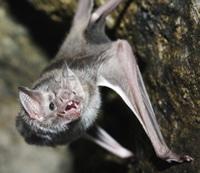 ALL ABOUT BATS Website: Vampire Bat Article