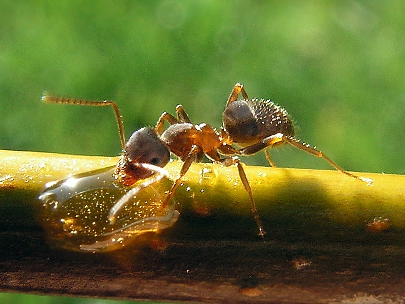 Elegant Black Garden Ants Thumbnail