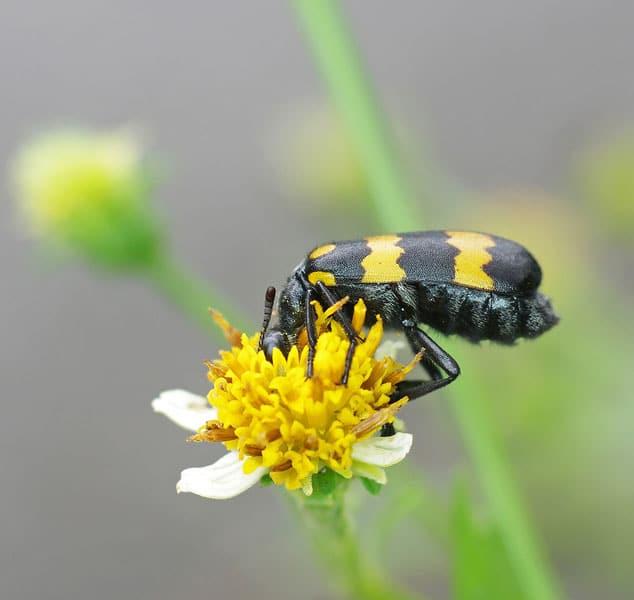 Blister Beetle Eating Flower