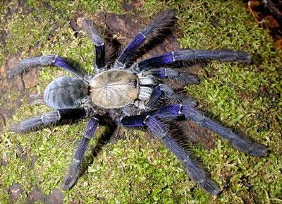 Blue Tarantula Spider