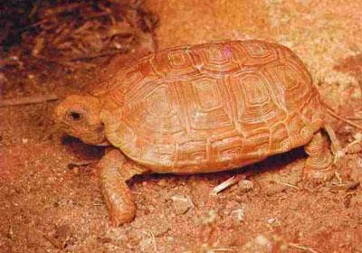 Boulenger's Cape Tortoise