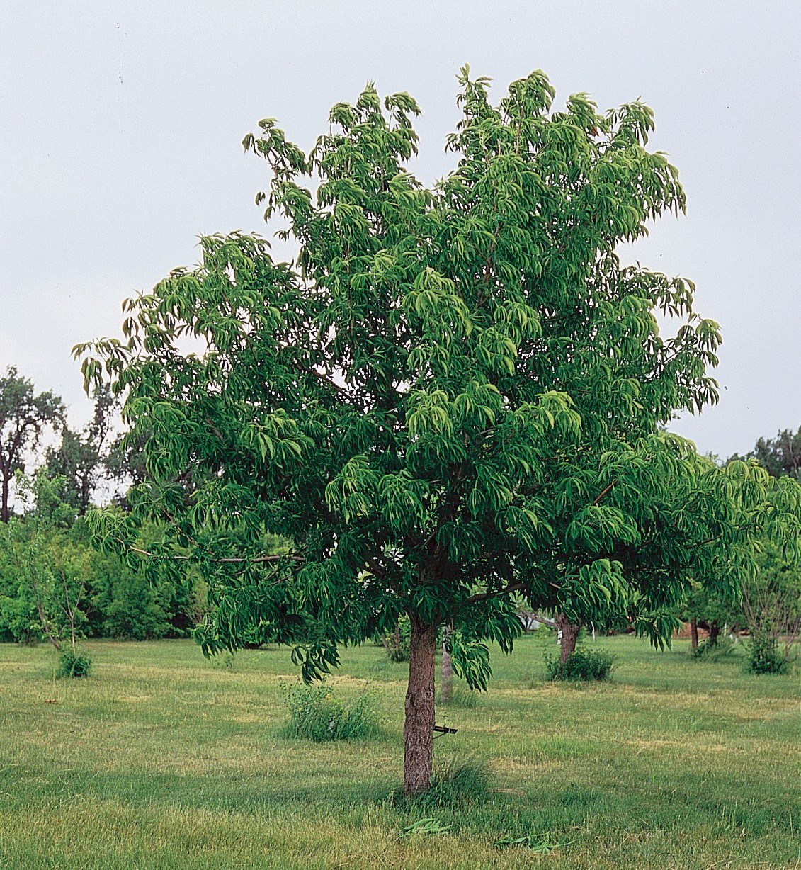 Buckeye Tree Learn About Nature