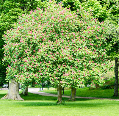 Buckeye Tree