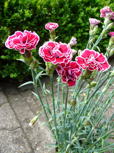 January Flowers: Carnation