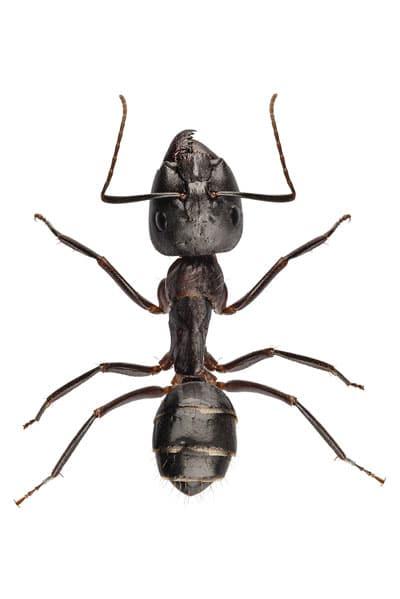 ¿Cuántas patas tienen las hormigas?