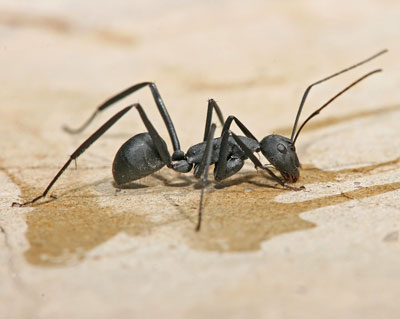 Detailed Article about Carpenter Ants Biology