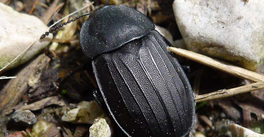 Carrion Beetle Learn About Nature
