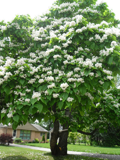 Catalpa Tree Learn About Nature