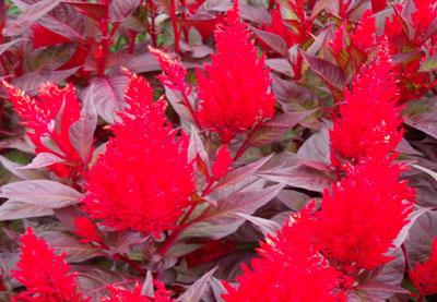 June Flowers: Celosia