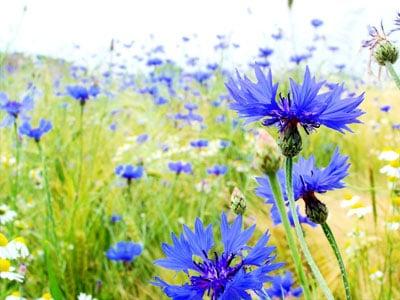 June Flowers: Cornflower