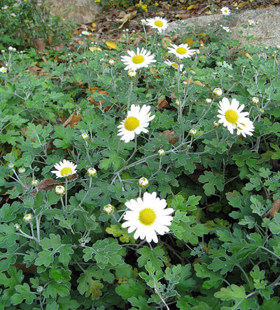 October Flowers: Chrysanthemum