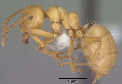 Detailed Article about Citronella Ants