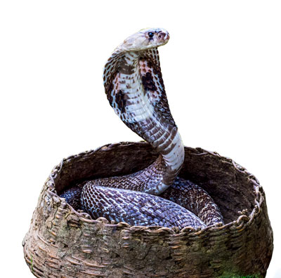 Detailed Article about Snake Charmer