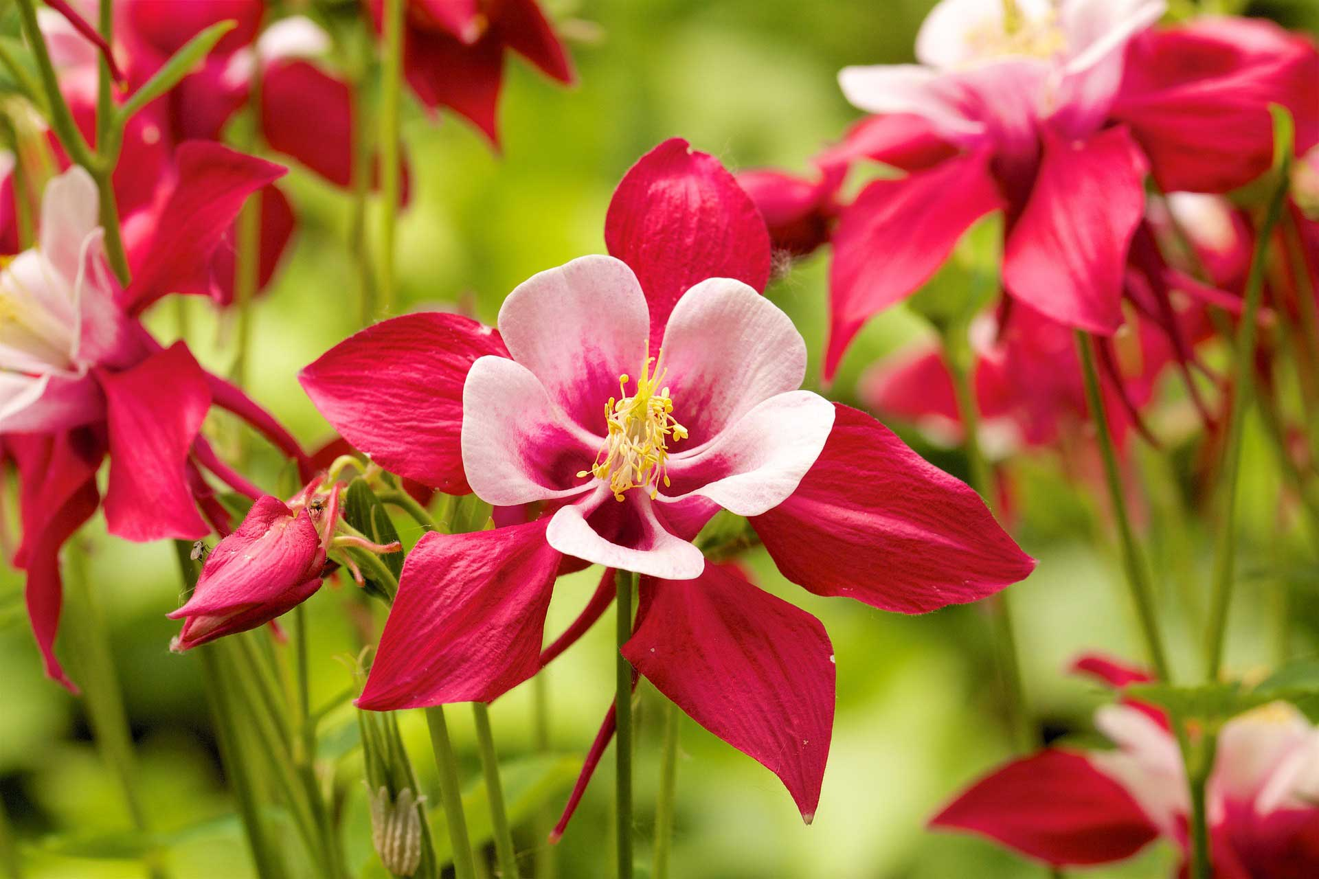 Summer flowers columbine learn about nature izmirmasajfo
