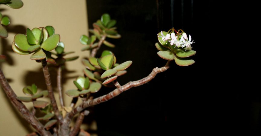 Jade Plant Learn About Nature