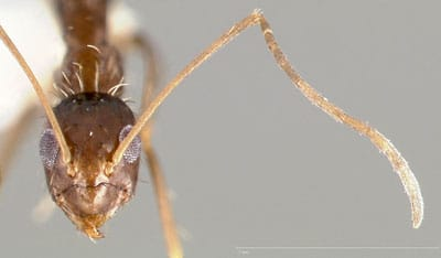 Detailed Article about Crazy Ants
