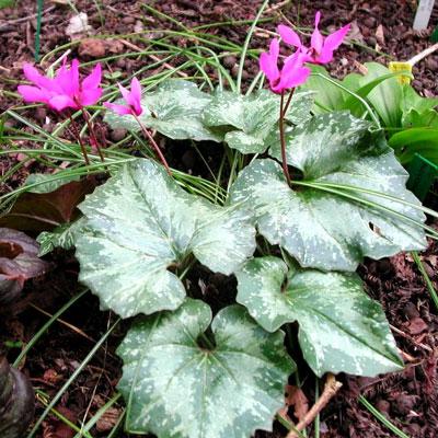 December Flowers: Cyclamen