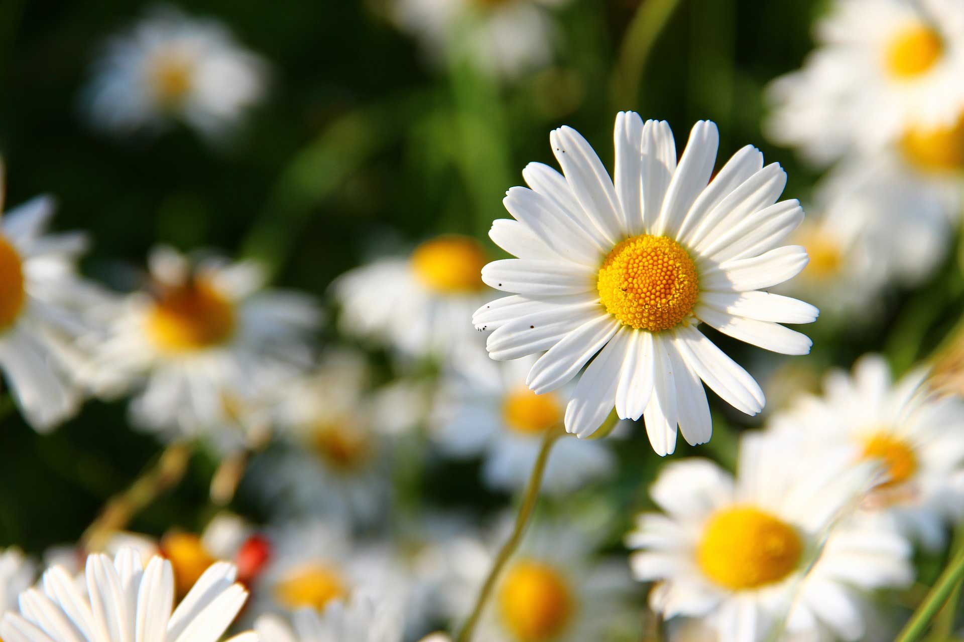Learn about nature spring flowers daisy flowers learn about nature spring flowers daisy flowers thumbnail mightylinksfo