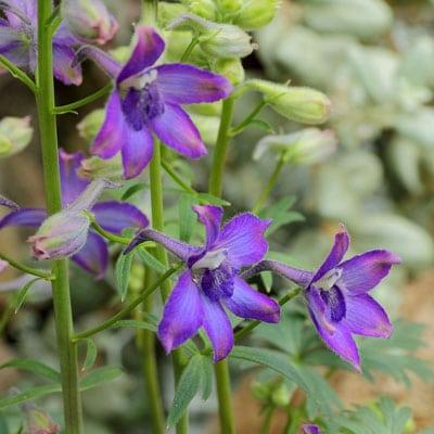 July Flowers: Delphinium