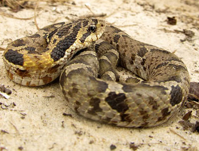 Detailed Article about Eastern Hognose Snake